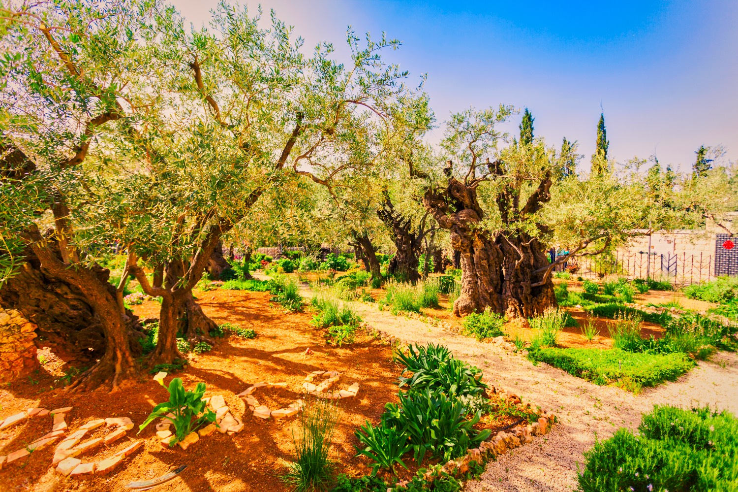016 jesus takes our sin in gethsemane new podcast for Age olive trees garden gethsemane